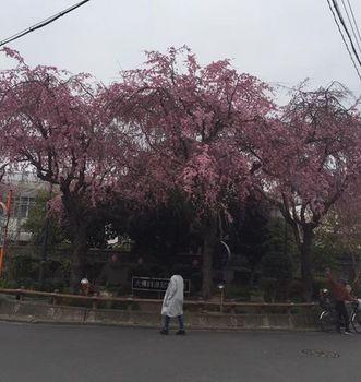 daibutu sakura.jpg